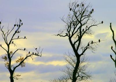 eagles-spirit-trees-harrison-mills